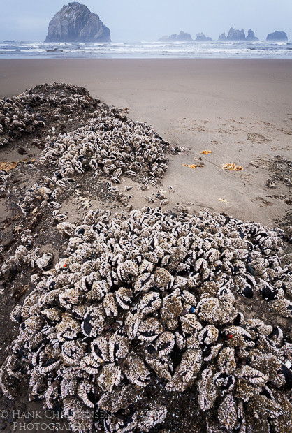 Low tide uncovers clusters of mussels, Bandon, Oregon