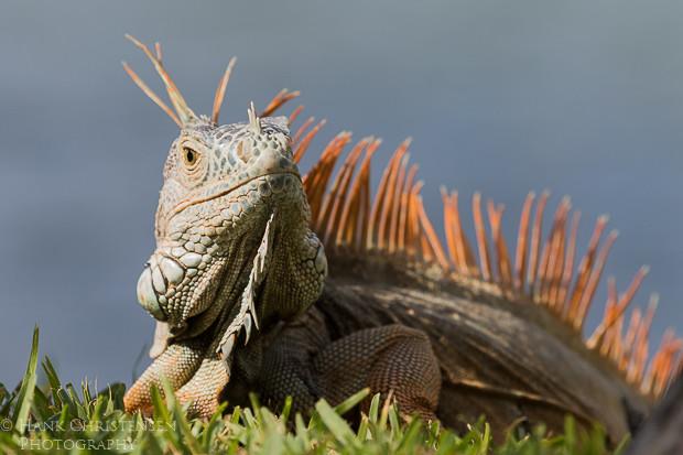 A common iguana sits in the sun in short grass, Puerto Vallarta, Mexico