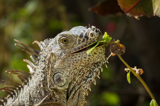 A common iguana eats leaves from a plant growing along the ground, Puerto Vallarta, Mexico