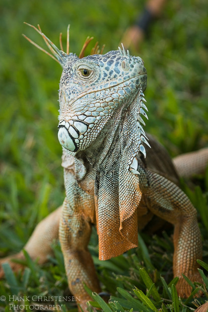 The common iguana's features are striking, from scaled multicolored skin to small horns and spikes