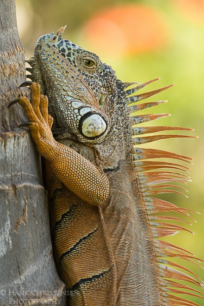 A common iguana climbs vertically up the smooth trunk of a tree, Puerto Vallarta, Mexico