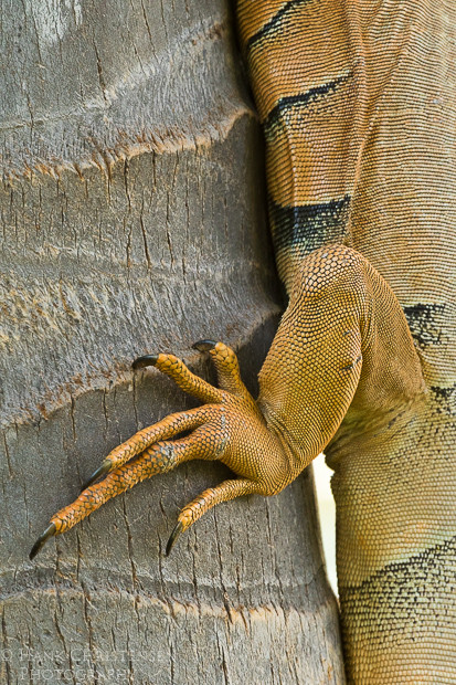 The common iguana's feet help it cling to a vertical tree trunk, Puerto Vallarta, Mexico