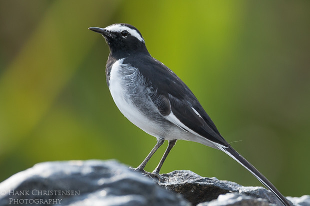 A white-browed wagtail stands on a rock backlit by beautiful greens and yellows of distant foliage, Ranganathittu Bird Sanctuary, India