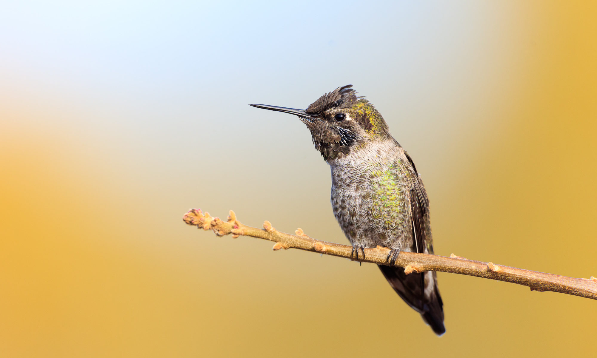 An anna's hummingbird perches on a thin branch, Belmont, CA