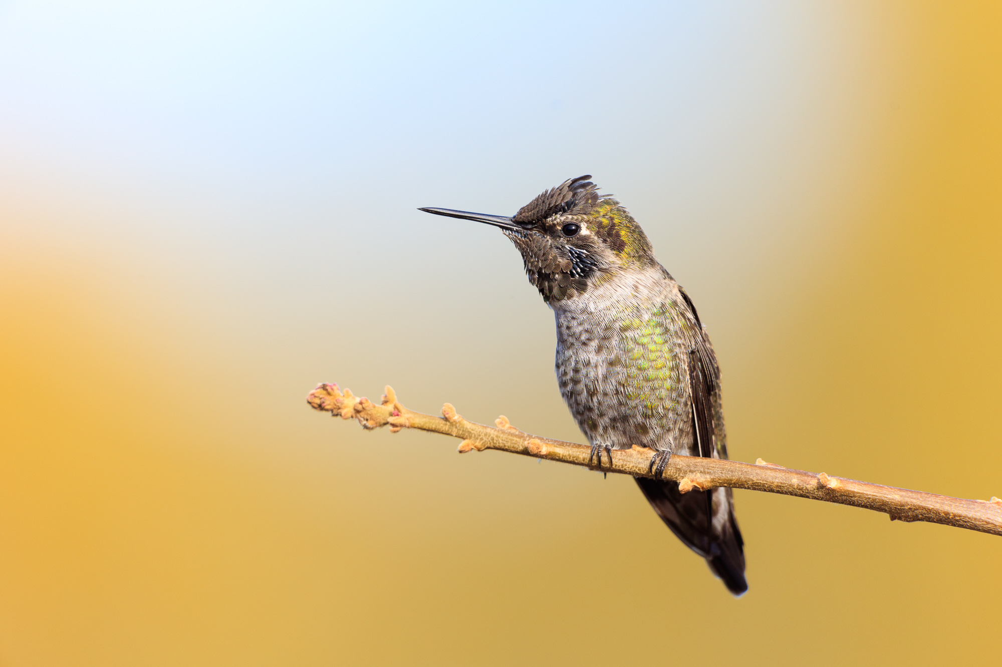 An anna's hummingbird perches on a thin branch, Belmont, CA