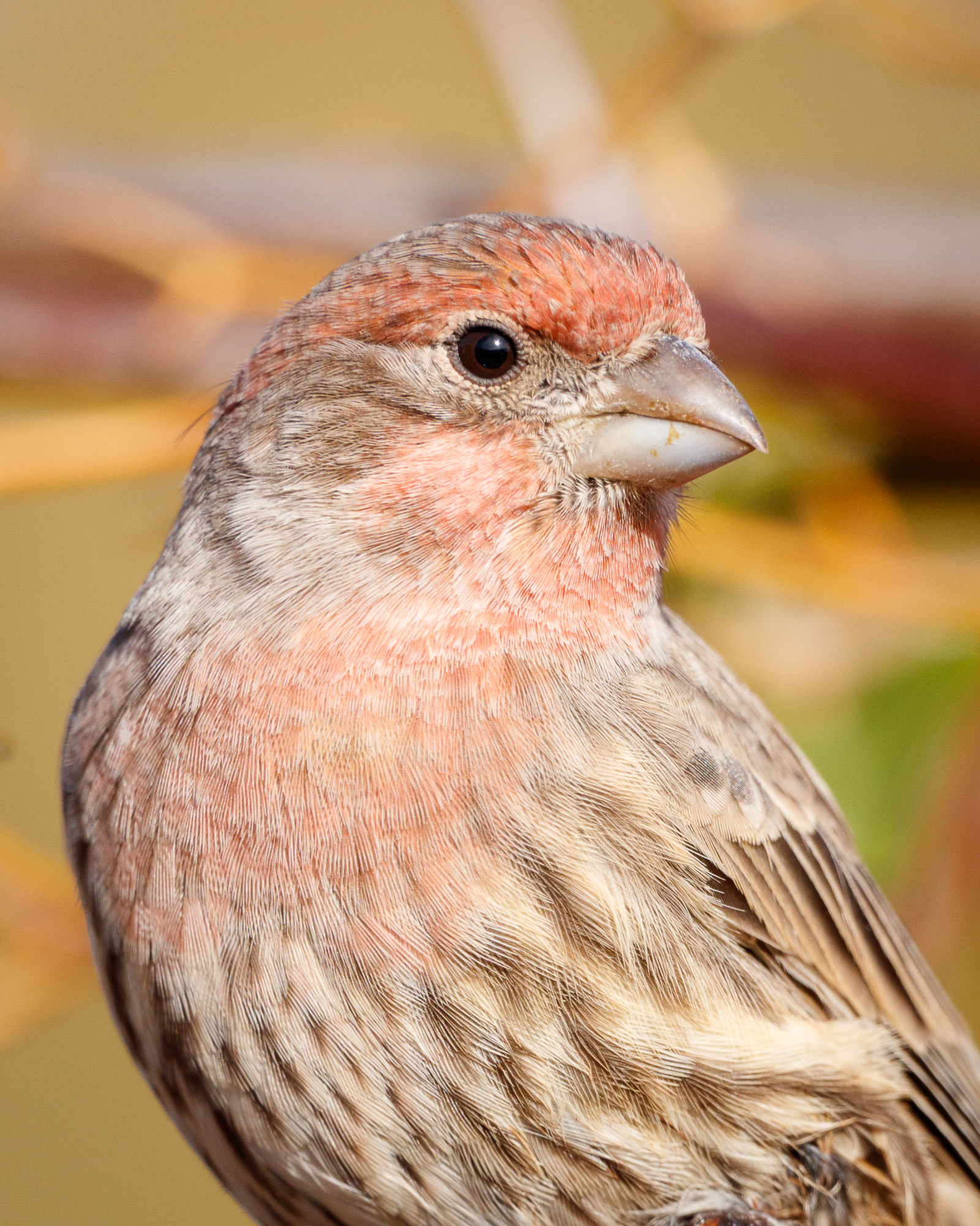 Head and shoulders portrait of a house finch, Belmont, CA