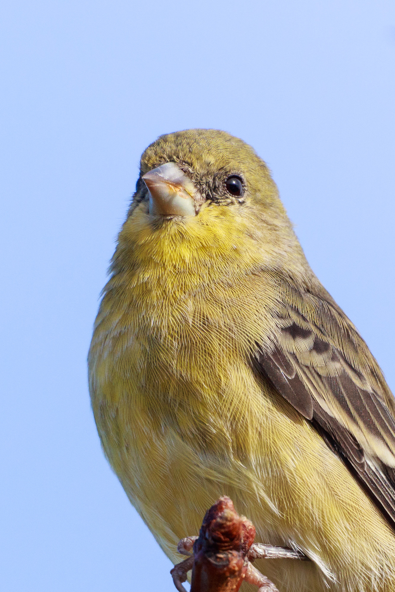 A lesser goldfinch perches on a narrow branch, Belmont, CA