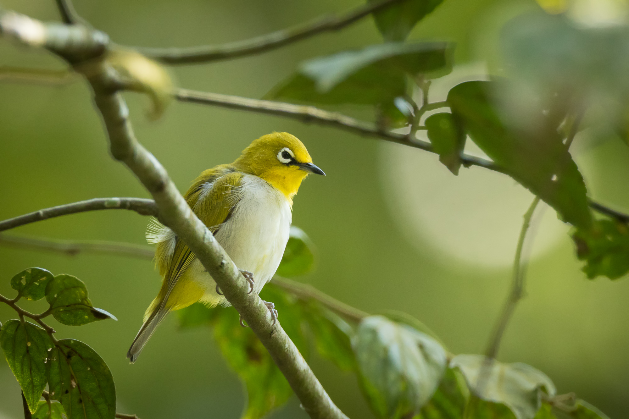 An oriental white-eye pauses briefly on a narrow branch, Nandi Hills, Karnataka, India