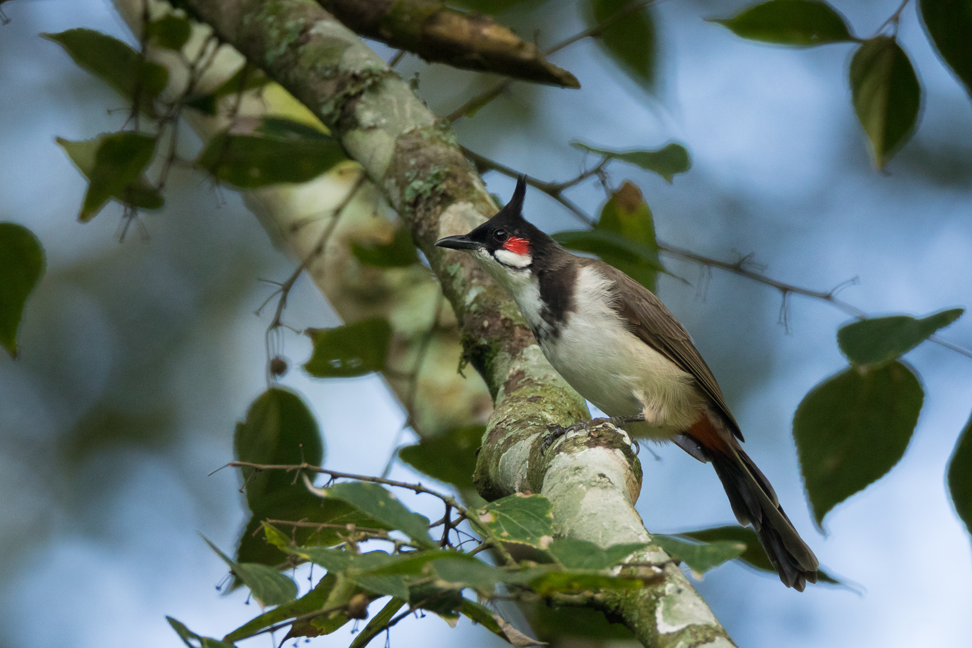 A red-whiskered bulbul sits on a branch in the midst of a jungle, Nandi Hills, Karnataka, India