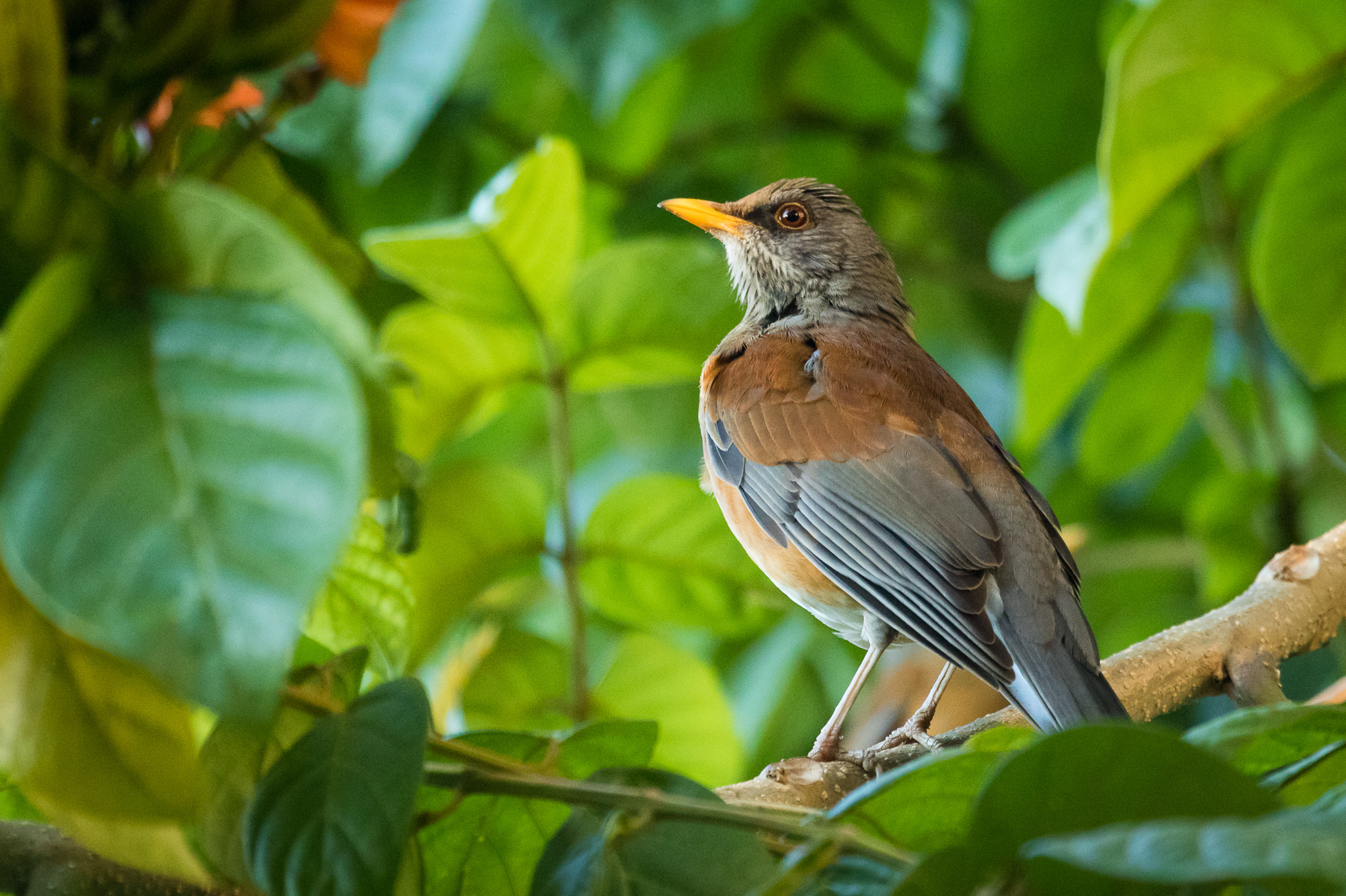 A rufous-backed robin perches on the branch of a green tree, Puerto Vallarta, Mexico