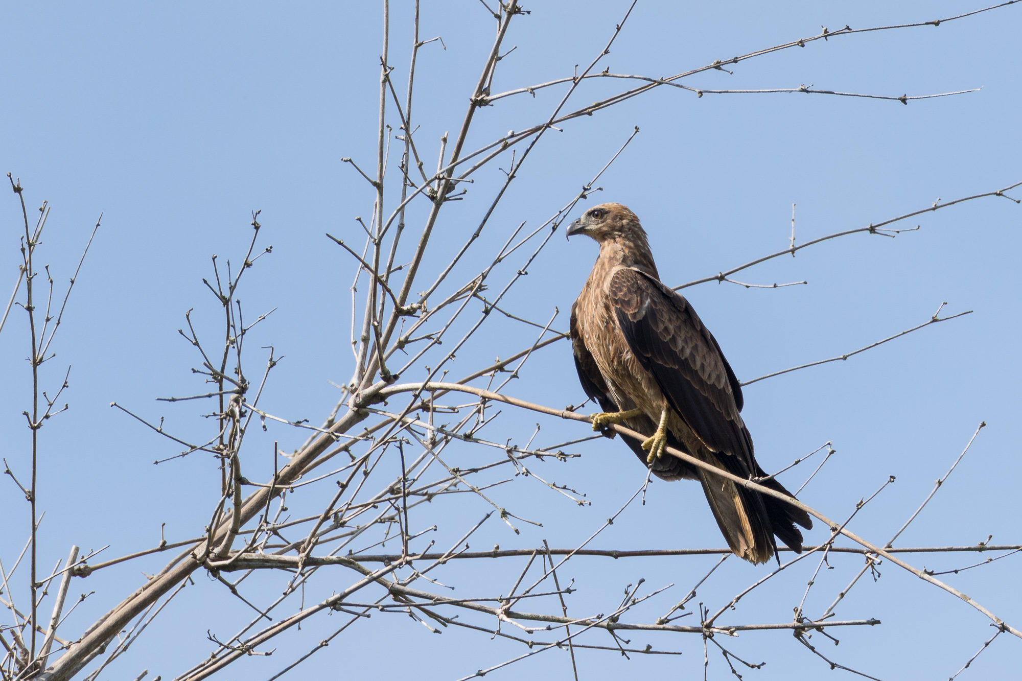 A black kite perches high in a tree over the water, Ranganathittu Bird Sanctuary, India