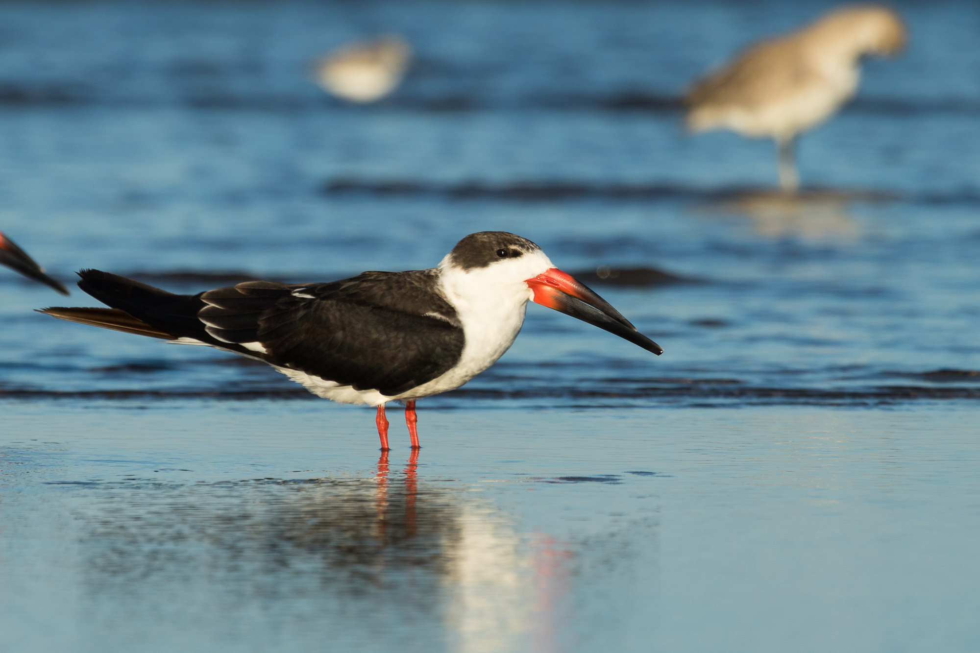 A black skimmer stands in shallow water along the shore, Puerto Vallarta, Mexico