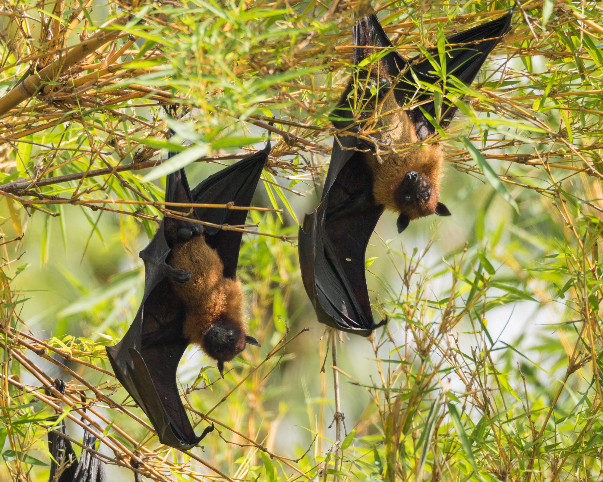 Several flying fox fruit bats hang upside down from a tree, resting through the hot day, Ranganathittu Bird Sanctuary, India
