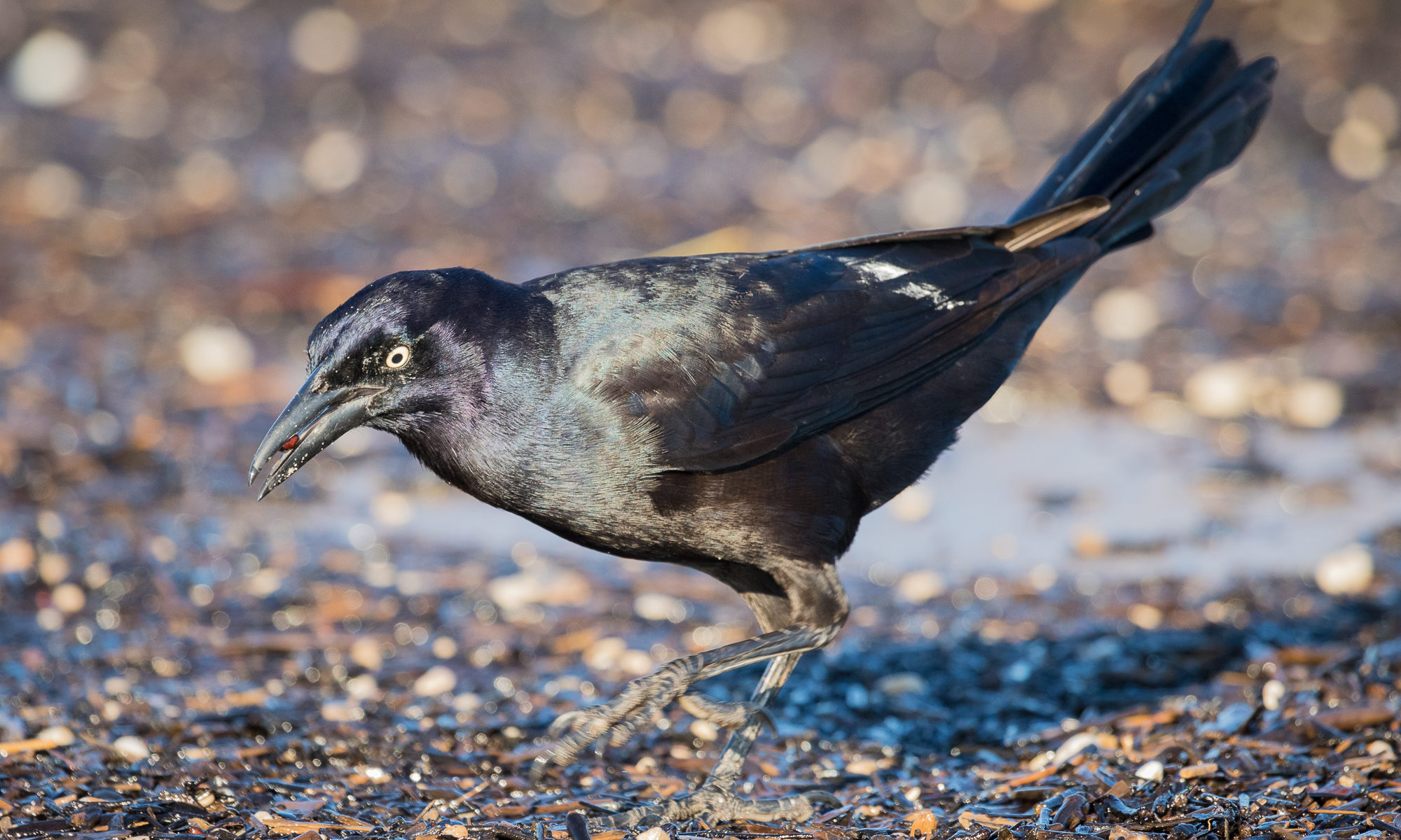 A great-tailed grackle picks food items out of the washed-up seaweed, Puerto Vallarta, Mexico