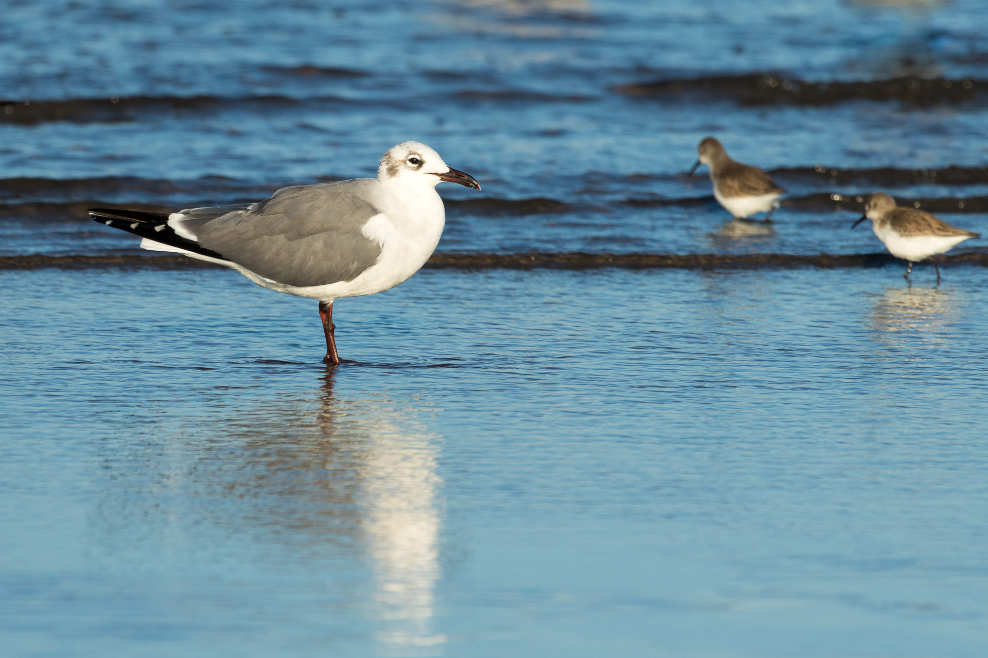 A laughing gull stands just off shore in the shallow water, Puerto Vallarta, Mexico