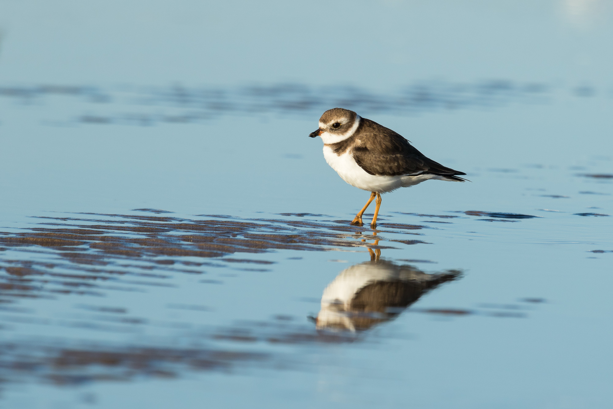 A semipalmated plover stands on small bits of exposed sand, Puerto Vallarta, Mexico
