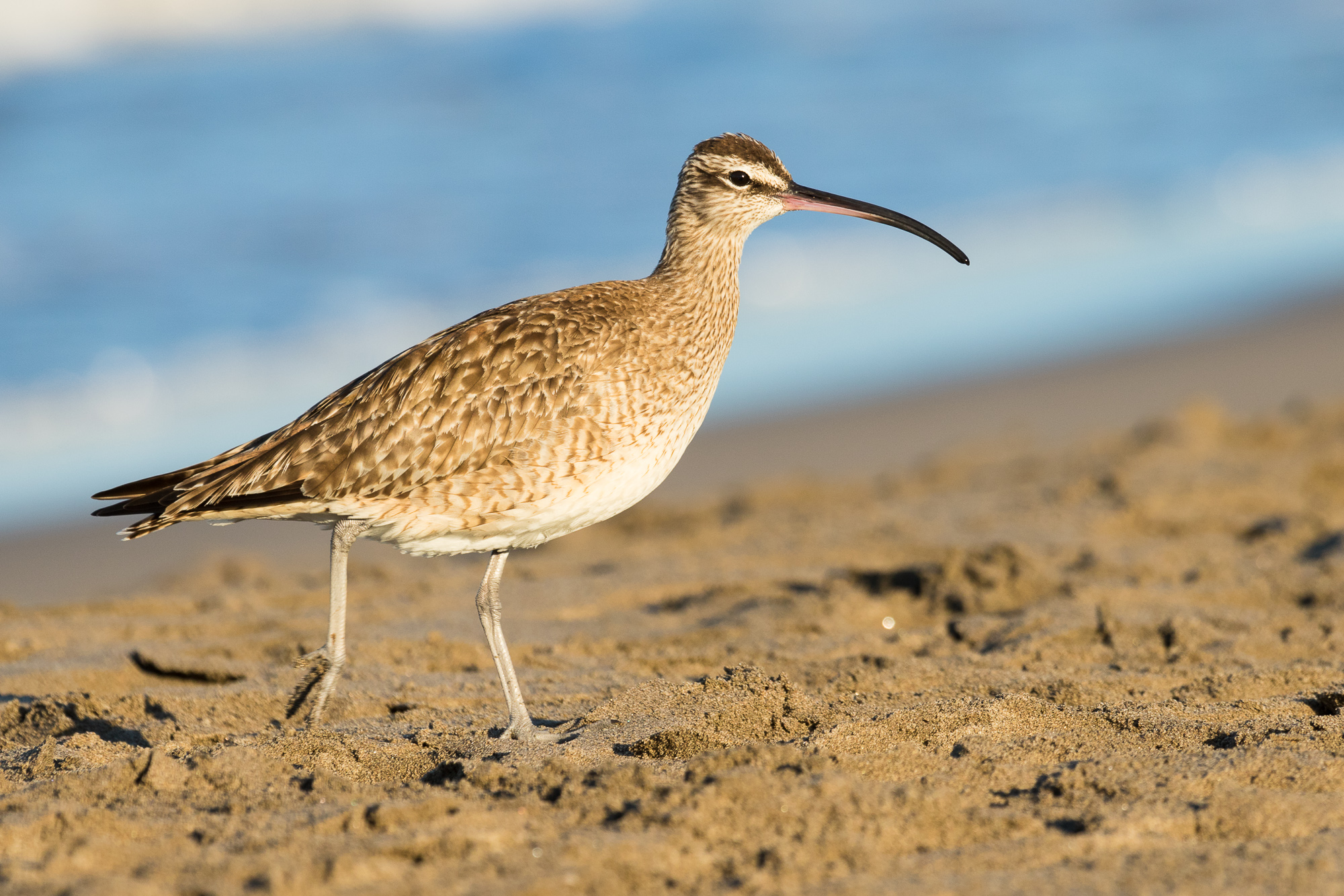 A whimbrel struts across a sandy beach, Puerto Vallarta, Mexico