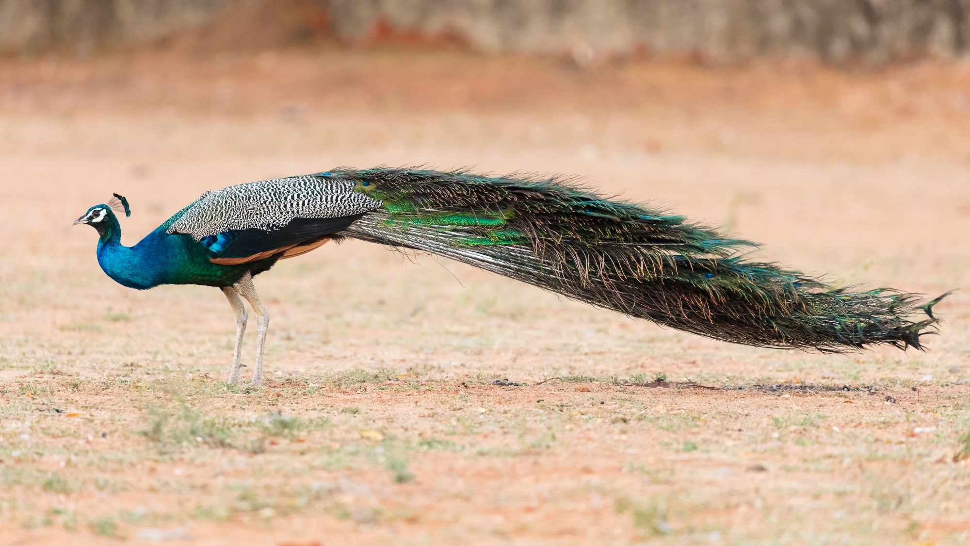 An indian peacock struts along open ground looking for food, Tamil Nadu, India.