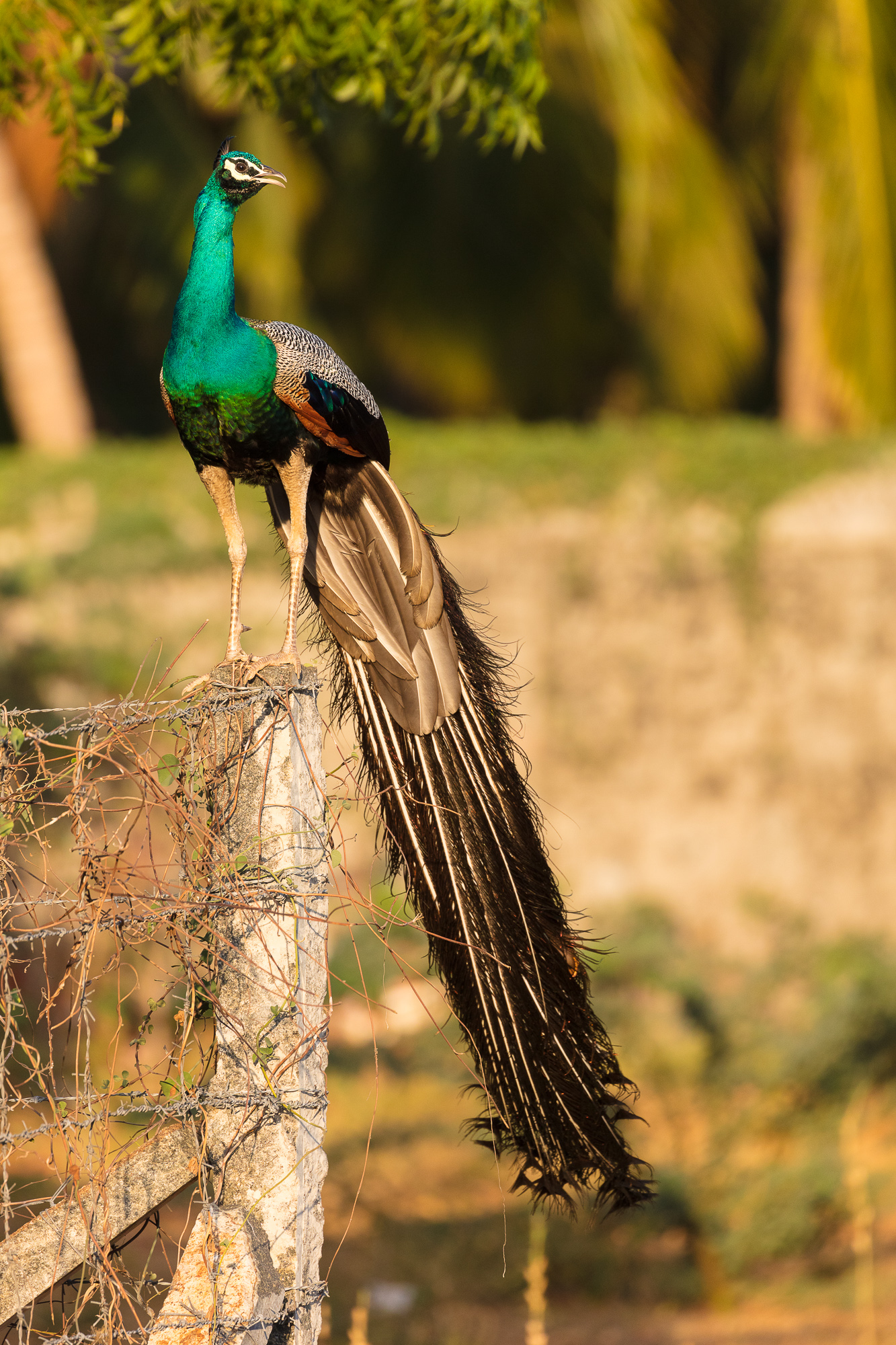 An indian peacock perches atop a wooden fencepost, Tamil Nadu, India.