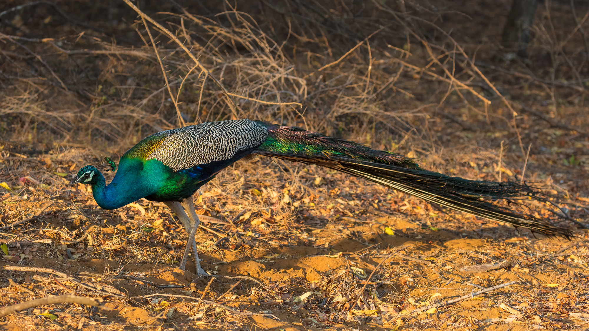 An indian peacock struts along a forest floor, Tamil Nadu, India.