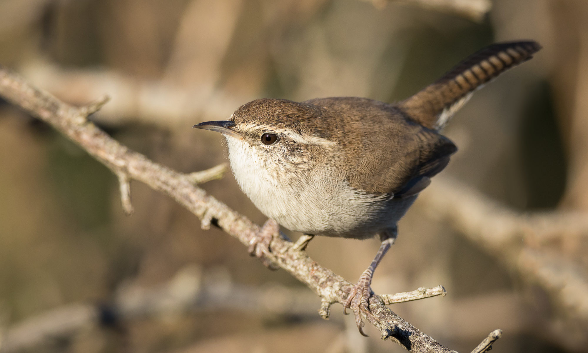 A bewick's wren perches on a narrow branch, Redwood Shores, CA.