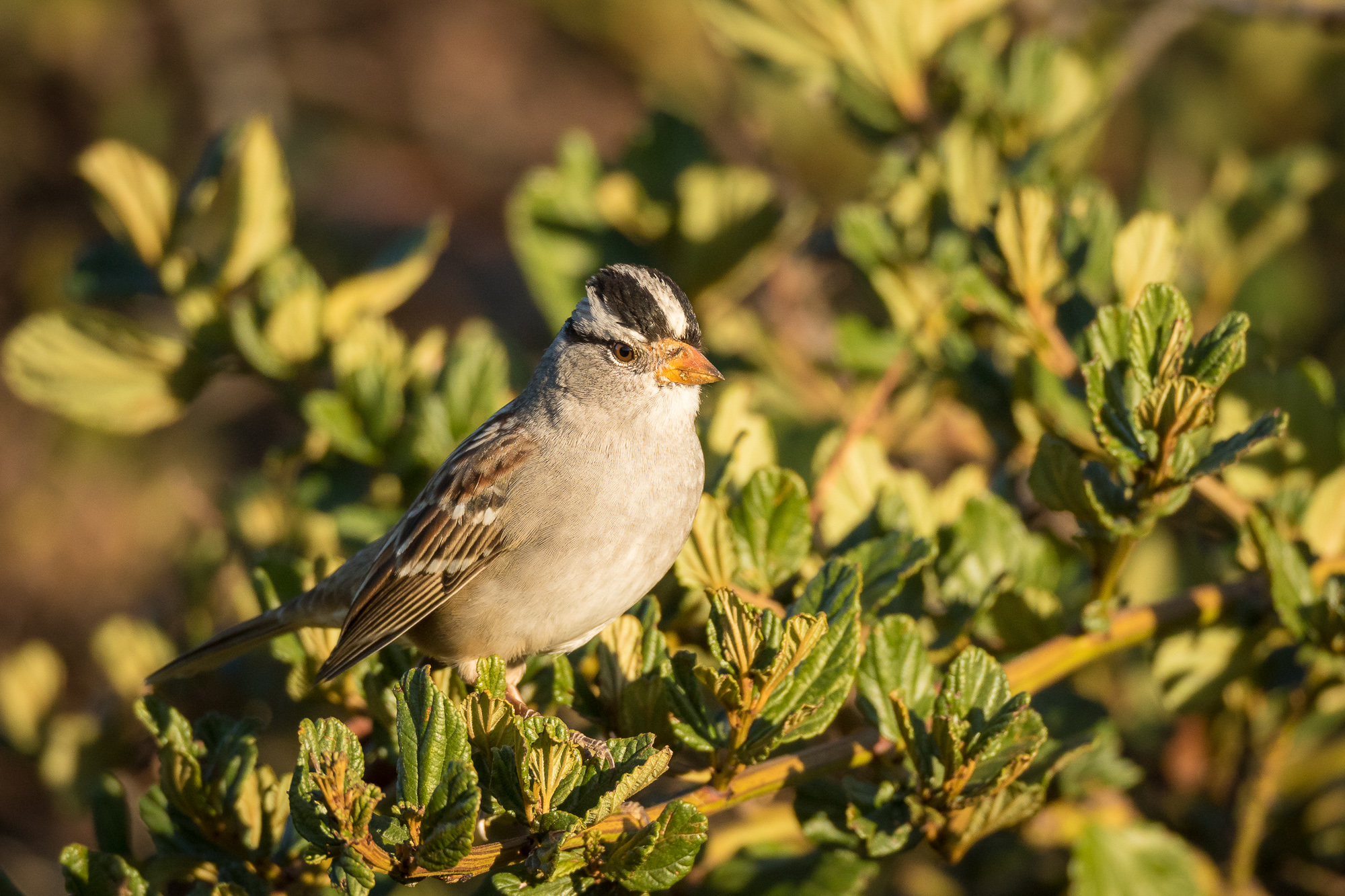A white-crowned sparrow perches on the top of a bush, Redwood Shores, CA.
