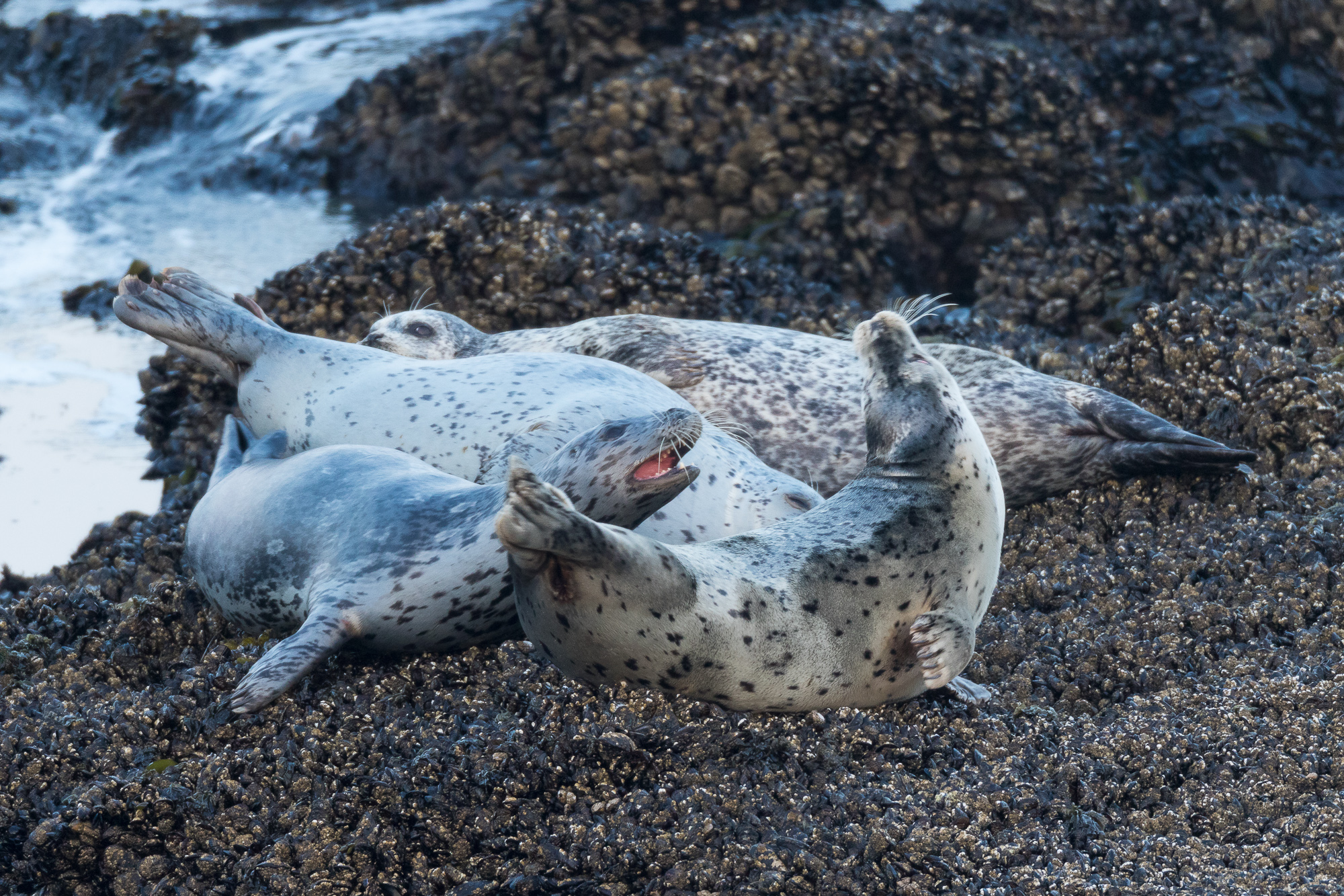 Harbor seals compete for lounging space on an offshore rock, Pescadero State Beach, California.