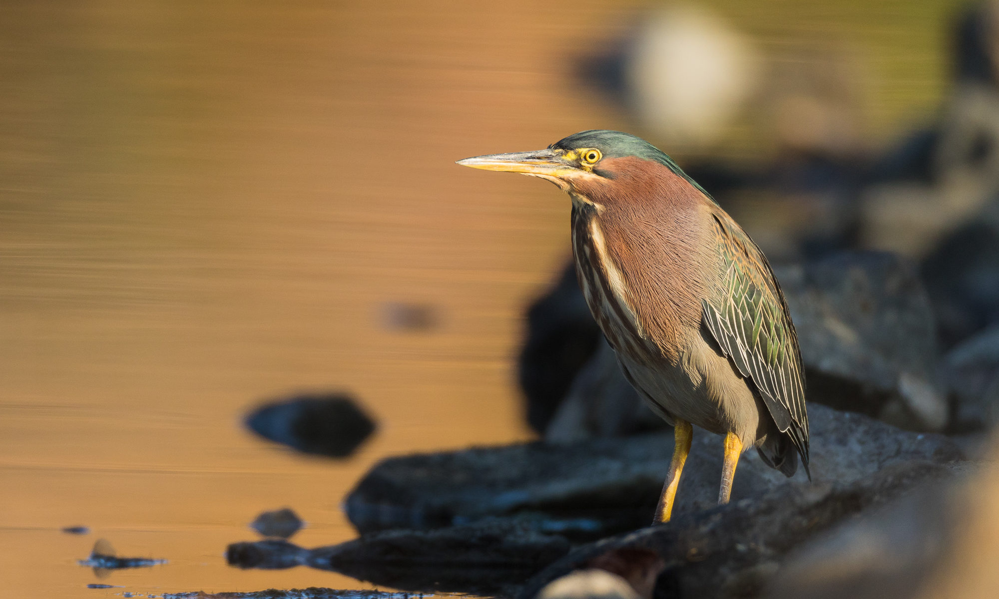 A green heron perches next to still water, reflecting fall colors, Redwood Shores, CA.