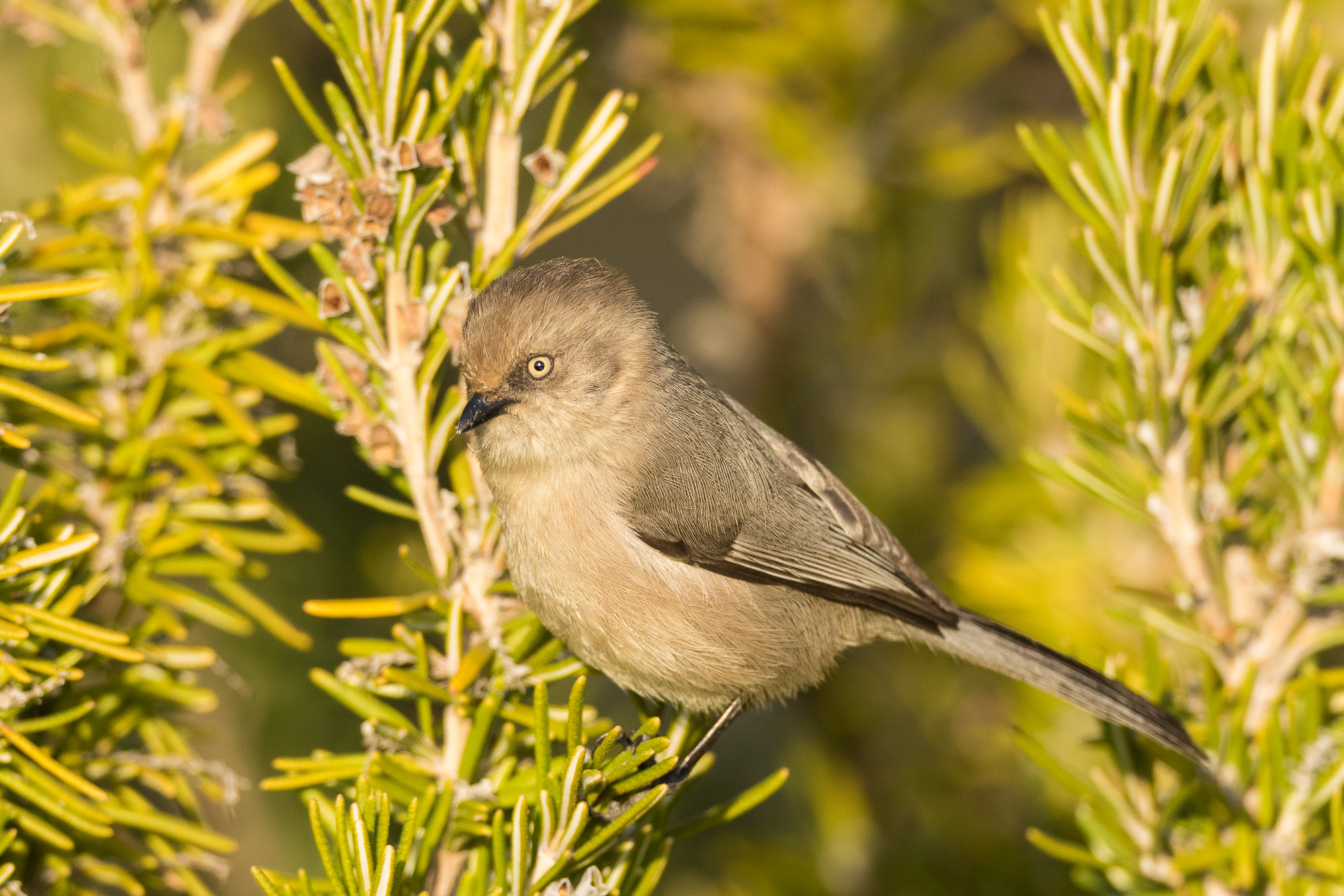A tiny bushtit perches briefly on an ornamental bush, Redwood Shores, CA.