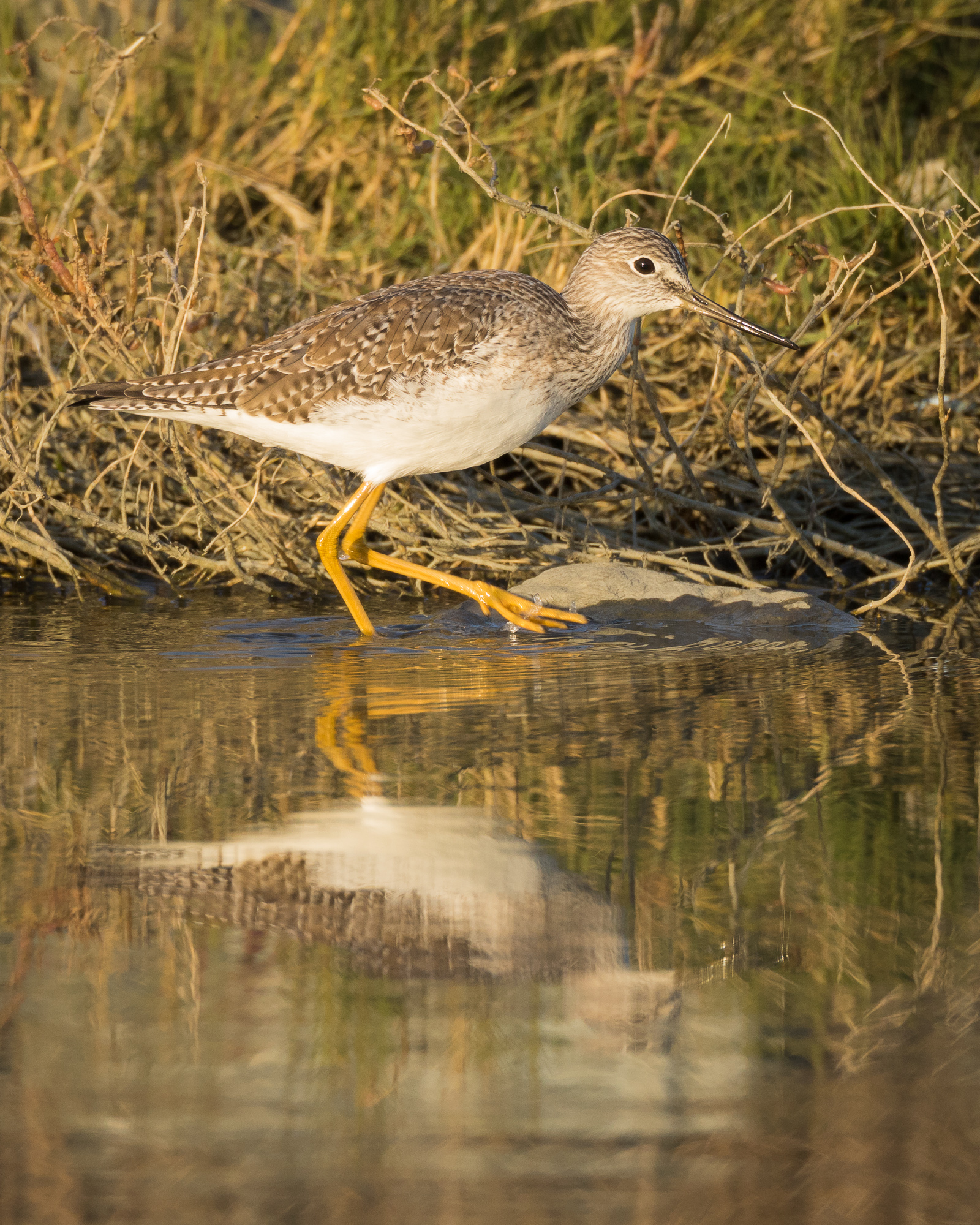 A greater yellowlegs stalks in shallow water, Redwood Shores, CA.