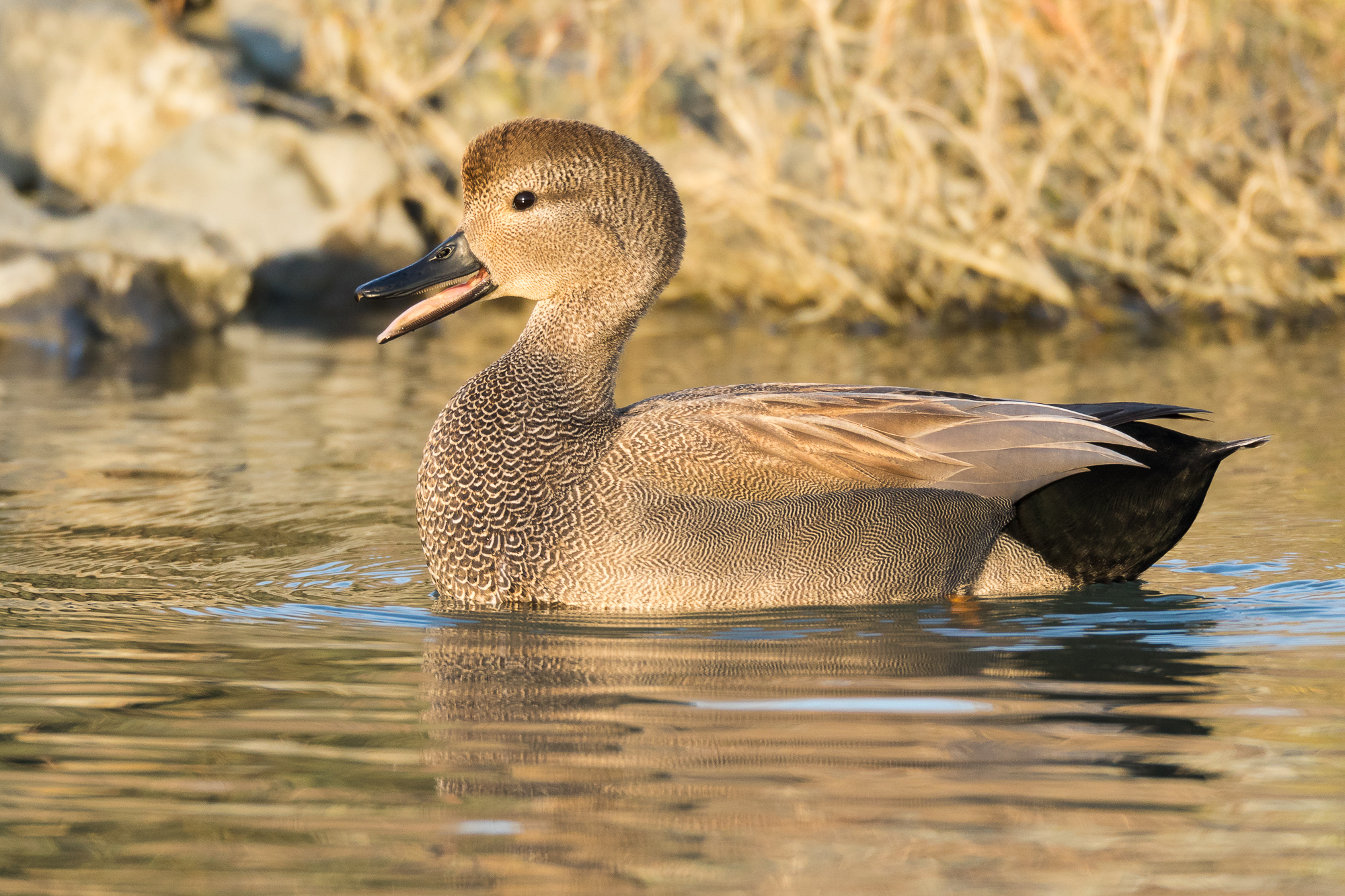 A gadwall swims through shallow, calm water, Redwood Shores, CA.