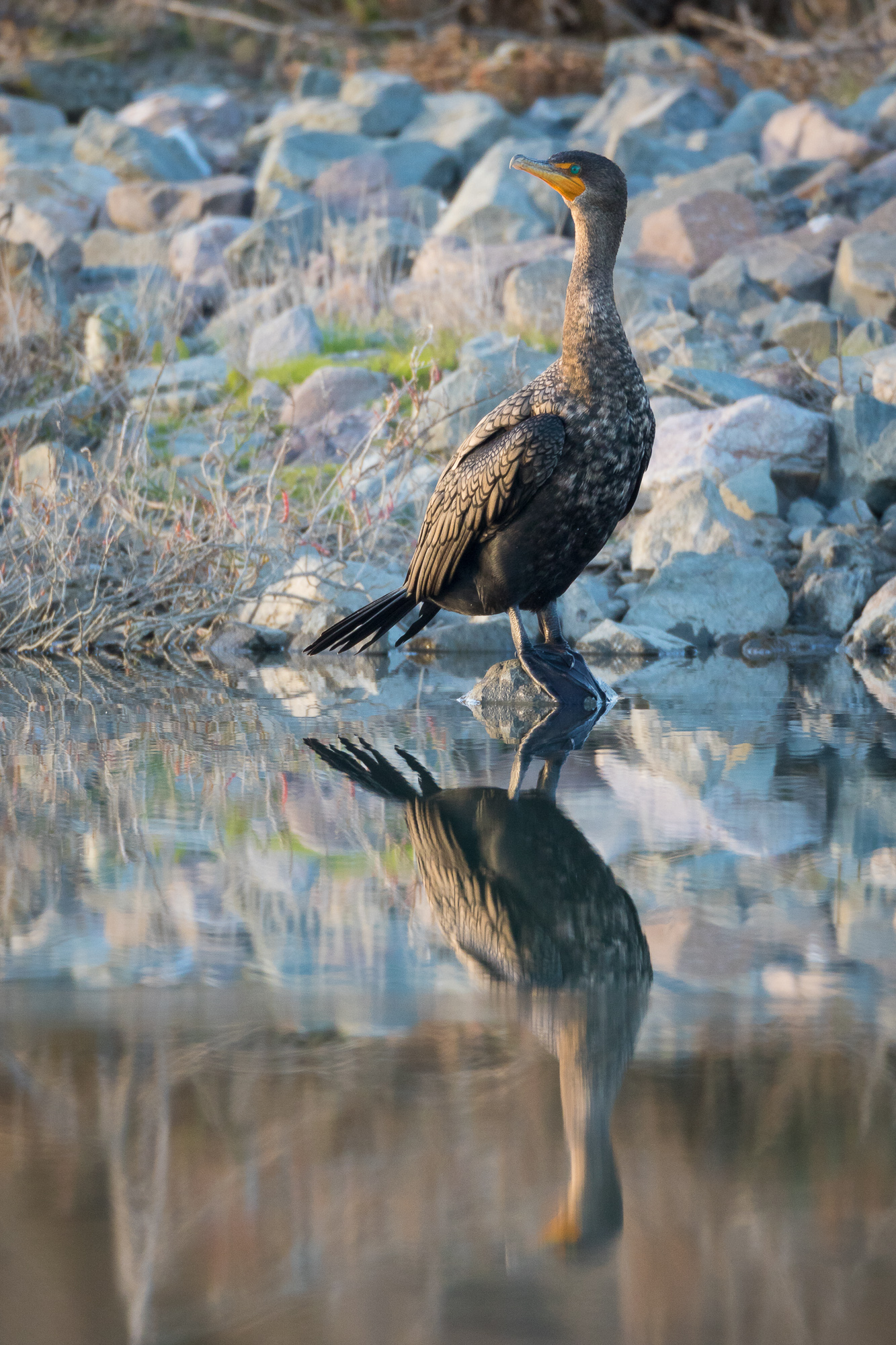 A double-crested cormorant perches on a small rock, reflected in still water, Redwood Shores, CA.